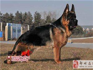北京黑大头犬舍、出售锤系德牧、黑神、雄霸、瓦尔特直