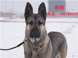 名獒缘钟祥市柴湖镇藏獒养殖基地