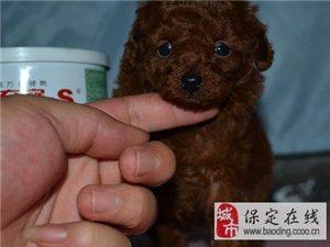 出售红棕色个人家繁殖泰迪幼犬