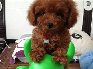精品泰迪两月玩具体毛色红