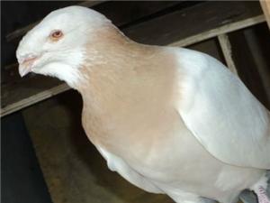 供應觀賞鴿,毛領、鳳尾鴿,淑女,秀鴿,養眼、馬頭,