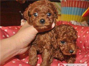 很粘人 小小体型红色 卷毛的泰迪熊犬出售 可上门