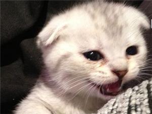 家养的小折耳猫很可爱讨人喜欢的无领领养先到先得