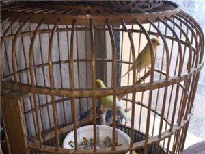 黄玉自养华年鱼虫鹦鹉宠物观赏鸟小鸟