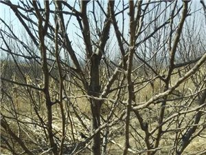 7年生南国梨树出售(500株)