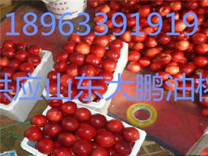 山東日照紅富士蘋果今天批發價格18963391919