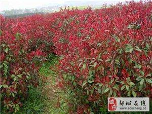 邹城市大量供应红红叶石楠,曼地亚红豆杉等园林苗木