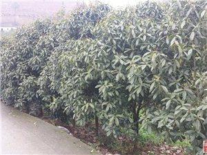 大量便宜出售红豆杉4年苗木
