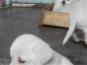 出售自家�B奶白色拉布拉多幼犬