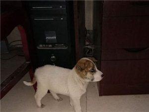 两个月大田园犬求收养!