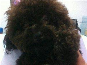 出售泰迪狗狗