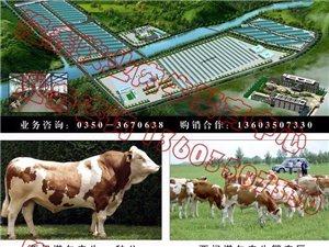 出售大量肉牛 肉牛犢 育肥牛13603507330