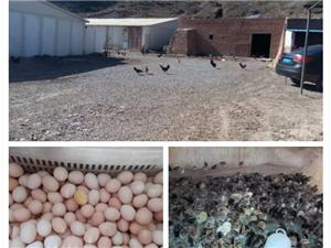 出售正宗散養柴雞蛋