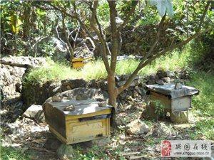 純正蜂蜜,純天然蜂蜜,土蜂蜜供應【長岡李師傅】