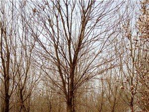 供6-12公分白蠟欒樹等綠化苗木