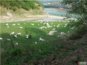 散养山羊出售