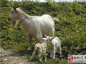松桃苗嶺生態養殖場批發大量本地黃牛、山羊