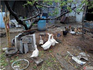 果園處理笨雞、笨鵝、笨鴨,并有笨雞蛋、鴨蛋、鵝蛋