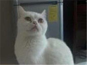 纯白乖巧可爱品种猫-800元
