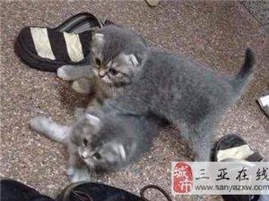 三個月小折耳貓無償送人養,女士優先