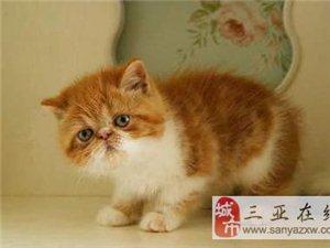可愛小加菲貓