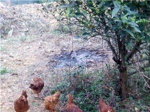 土鸡、土鸡蛋、散养鸡、散养鸡蛋、农