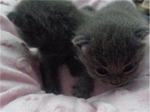 出售大头英短蓝猫宝宝