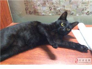 可爱纯黑猫转让