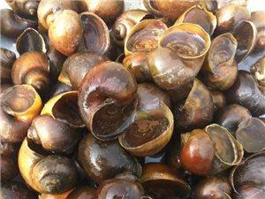 本中心長期大量收購福壽螺、福壽螺卵