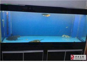 出售龍魚、珍珠魚
