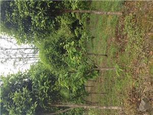 大量桂花樹 出售