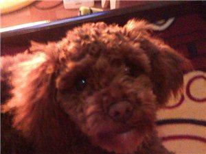 尋找愛犬泰迪