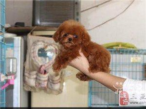 韓國泰迪熊幼犬、最可愛的小寶貝純種健康顏色齊