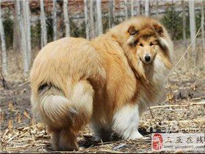名犬繁殖中心出售賽級蘇牧幼犬寶寶3月包退換