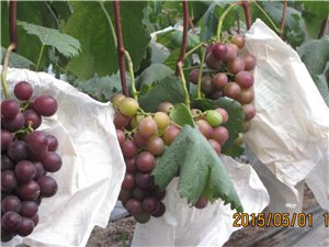 葡萄將熟,粒大飽滿,口感絕佳,快快來采購吧