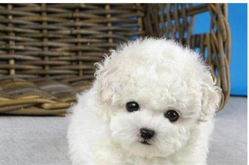 —专业繁殖场出售纯种韩系泰迪熊犬 狗舍保证健康纯种