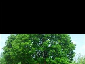 大树乘凉,枣缘相聚