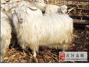 出售正宗的绒山羊50头