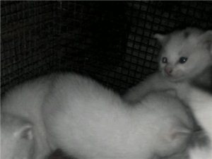 很漂亮一窩白色的小貓兩個月了