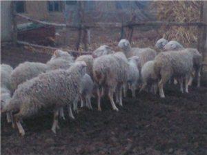 卖羊有买的电话联系我