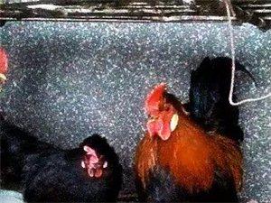 紅花元寶雞雞苗種蛋