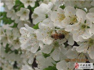 濱州附近櫻桃采摘園