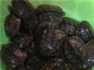 宾阳越南石龟