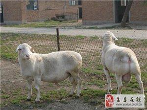 批發、零售——杜泊羊