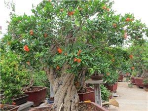 盆栽石榴樹