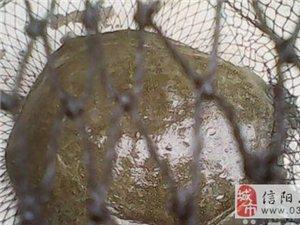 纯野生甲鱼5.8斤