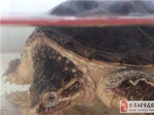 十五厘米小鳄龟,十字眼