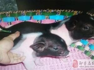 迷你豬體型小體重小