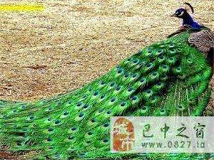 出售孔雀苗[活体]、种孔雀、商品孔雀