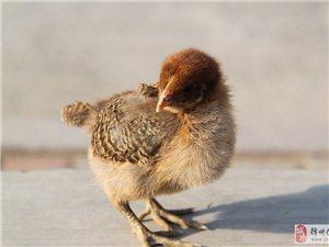 出售自己孵化雞雛,20多天大